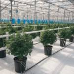 Canopy Growth Applies To Be First Cannabis Cultivator On The NYSE