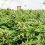 Four issues to be resolved in cannabis legalization