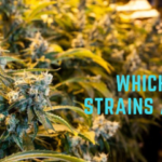 Which Cannabis Strains are highest in CBD?