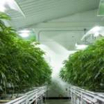 Will Challenges Faced by Cannabis Producers Create Opportunities for Real Estate Investors?