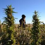 Wild, Wild Weed: Genetics, Business and Politics Changing Cannabis