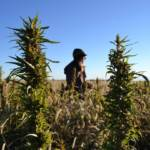 Thousands of acres of hemp being legally harvested in Michigan for the first time